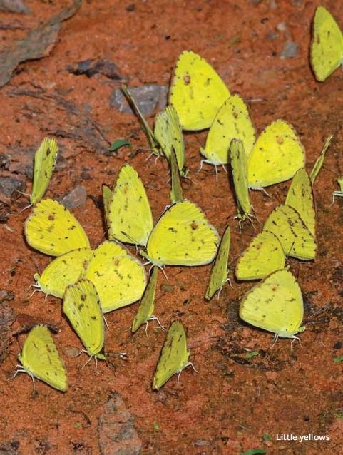 ??  ?? Little yellows