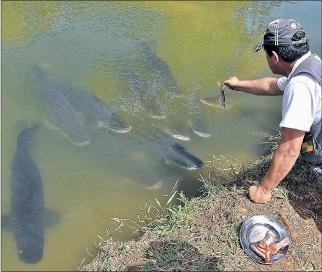 ?? YADIRA YLLESCAS / EXPRESO ?? Crianza Los paiches son cultivados en piscinas, estos son alimentados con tilapias o peces más pequeños.