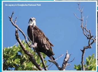 ??  ?? An osprey in Everglades National Park