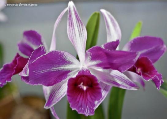 ??  ?? L. purpurata flamea magenta