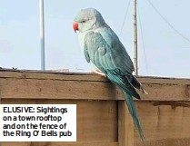 ??  ?? ELUSIVE: Sightings on a town rooftop and on the fence of the Ring O' Bells pub