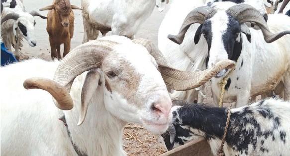 ?? PHOTO: FEMI ADEBESIN- KUTI ?? Rams on display at Lafenwa, Abeokuta, Ogun State ahead of Sallah celebration... yesterday.