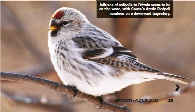 ??  ?? Influxes of redpolls to Britain seem to be on the wane, with Coues's Arctic Redpoll numbers on a downward trajectory.