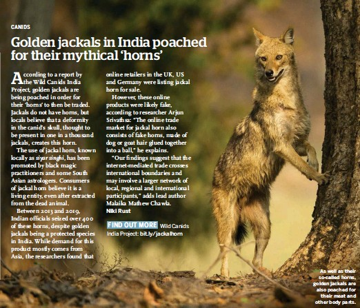 ??  ?? As well as their so-called horns, golden jackals are also poached for their meat and other body parts.