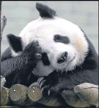 ?? Picture: PA. ?? Tian Tian at Edinburgh Zoo. Keepers are monitoring the pandas as mating season approaches.