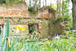 ?? PHOTO: RICHARD DAVISON ?? Inruins...A solitary daffodil with crumbling brickwork behind at the Hart's Black Horse Brewery in Wetherstons Gully, Lawrence, during the attraction's closing weekend on Saturday.