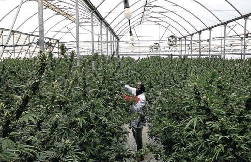 ?? Picture: Luke Dray/Getty Images ?? A farmworker picks cannabis in a greenhouse in Kasese, western Uganda. Uganda is one of several African countries looking to produce cannabis for medical applications for export.