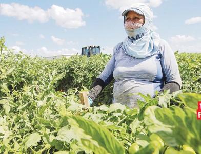 ??  ?? david.villafane@gfrmedia.com Zulma Torres comenzó a trabajar en la finca de tomates cuando apenas tenía 17 años.