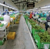 ??  ?? 4: Grapes are picked in the morning and deliveredto the packhouse ideally within 15 minutes.
