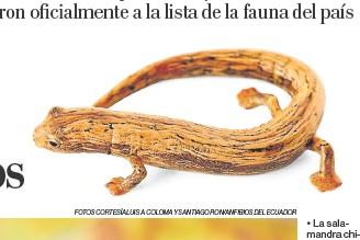 ?? Fotos CORTESÍA Luis A. Coloma y Santiago Ron/anfibios del ecuador ?? • La salamandra chica está en el bosque húmedo tropical del Chocó.