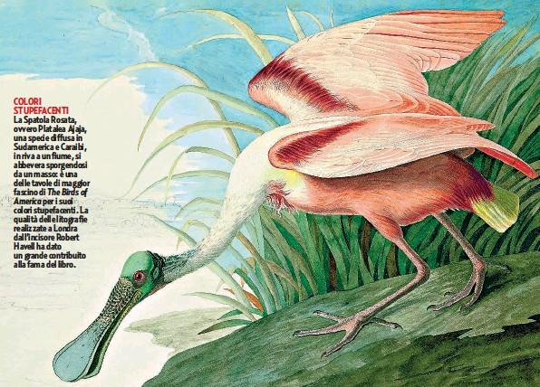 ??  ?? COLORI STUPEFACENTI La Spatola Rosata, ovvero Platalea Ajaja, una specie diffusa in Sudamerica e Caraibi, in riva a un fiume, si abbevera sporgendosi da un masso: è una delle tavole di maggior fascino di The Birds of America per i suoi colori stupefacenti. La qualità delle litografie realizzate a Londra dall'incisore Robert Havell ha dato un grande contribuito alla fama del libro.