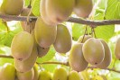 ??  ?? Banks' lending to the horticlutire sector, led by the kiwifruit industry, is growing 15 per cent a year.