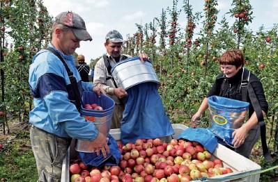 ??  ?? Seasonal Ukrainian workers gather apples at an orchard near Leczyszyce, Poland, on Sept. 3, 2014. (AFP)