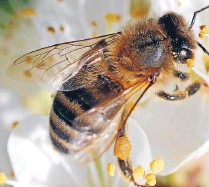 ?? PHOTO: FAIR­FAX NZ ?? A honey bee works on plum blos­som. Farm­ers need to plant more bee friendly tree and shrub species such as fruit trees.
