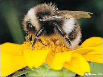?? SUPPLIED: DAVID WALTER ?? The bombus moderatus, a new bumble-bee to Edmonton, has been spotted in backyards across the city. The insect is typically found in Banff and the North.