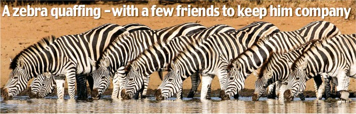 4e1e1c288d Look closely enough and you'll see there are nine zebras in total – but  just don't ask us to count the stripes …