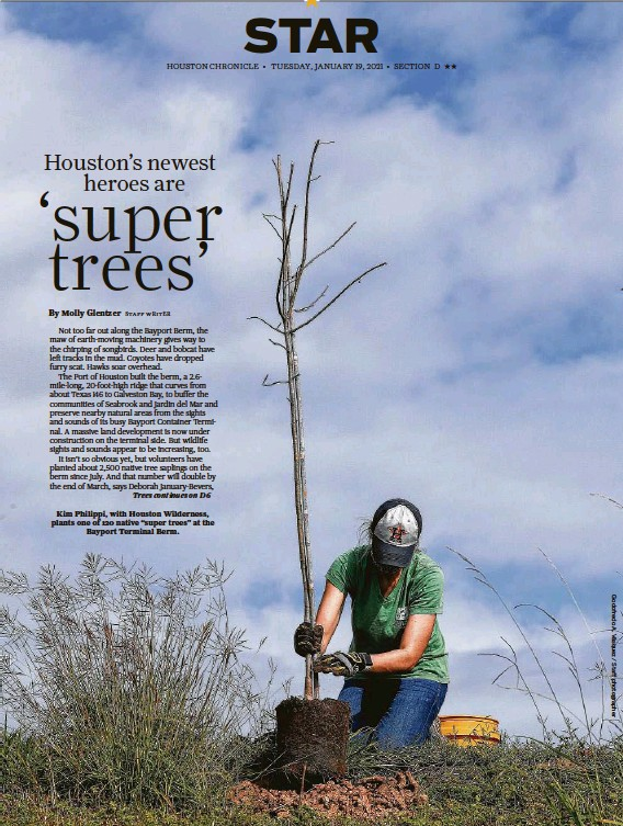 """??  ?? Kim Philippi, with Houston Wilderness, plants one of 120 native """"super trees"""" at the Bayport Terminal Berm."""