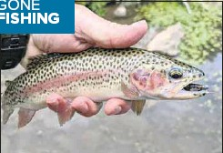 ??  ?? ◆ ON THE BITE: A lovely rainbow trout caught in a tributary of the Ovens River on a small Strike Tiger nymph soft plastic lure last week.