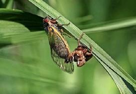 ?? Foto: AFP ?? Eine einzelne Zikade macht so viel Krach wie ein Rasenmäher.