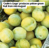 ??  ?? 'Oullin's Gage' produces yellow-green fruit from mid-August
