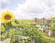 ?? PHILIP KOSCHEL, VISITBERLIN ?? Sunflowers, rather than jets, aim skyward at Tempelhof.