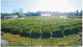 ??  ?? Arriba: trigo con septoriosis. Abajo: cultivo afectado por fusarium.