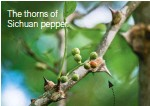 ??  ?? The thorns of Sichuan pepper.