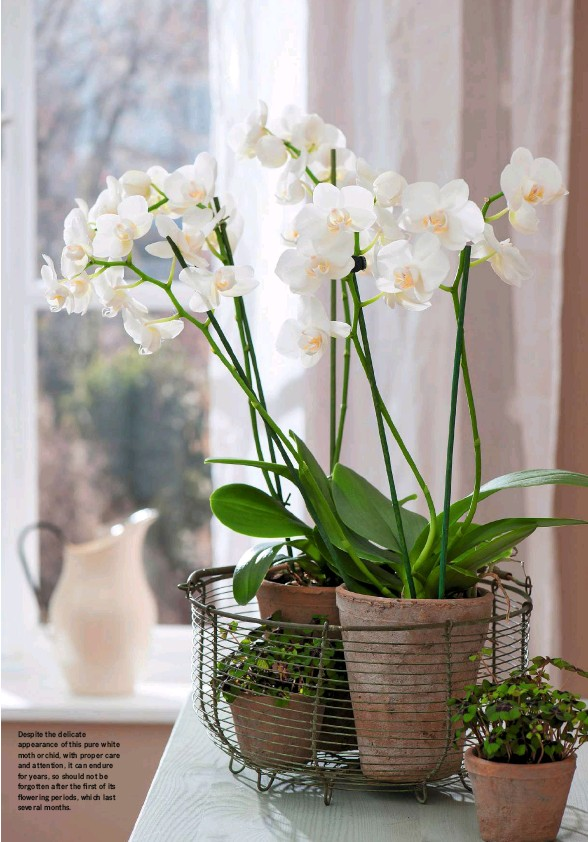 ??  ?? Despite the delicate appearance of this pure white moth orchid, with proper care and attention, it can endure for years, so should not be forgotten after the first of its flowering periods, which last several months.