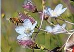 ?? EDDIE MOORE/JOURNAL ?? A honeybee feeds on an Apache plume plant in Santa Fe County's Arroyo Hondo Open Space.