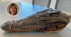 ??  ?? The crocodile head owned by Susanna Clark, inset top, was gifted to her late grandfather Sir Percy Wyn-harris by Prince Philip following his Gambian river safari in 1957.