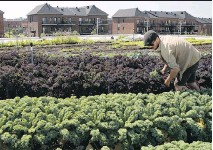 ?? ALLEN MCINNIS ?? Urban gardener Leandre Chatnon tends to a huge rooftop garden located on the Henri-Bourassa street IGA store in the St-Laurent district. The organic produce grown is being sold in the store.