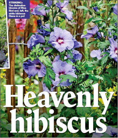 Pressreader The Mail On Sunday 2017 04 09 Heavenly Hibiscus