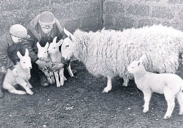 ??  ?? Colin Mathews, of Waterside Farm, Memsie, near Fraserburgh, and nephew Harry Chalmers check over a Border Leicester ewe's four lambs in March 1983