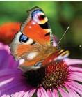 ??  ?? Damit Insekten über das Jahr einen reich gedeckten Tisch vorfinden, sollten Gärten, Terrassen und Balkone insektenfreundlich gestaltet sein.