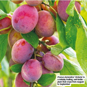 ??  ?? Prunus domestica 'Victoria' is a reliably fruiting, self-fertile plum that crops from August to September
