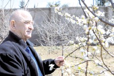 ??  ?? Meherremov, who was the head doctor at a Shusha hospital before fleeing the town 30 years ago, stands by a blooming tree in the courtyard of his house in a settlement for displaced people outside Baku. — AFP photo