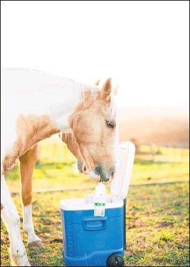 ?? PHOTO BRIDIE ROSE PHOTOGRAPHY ?? FAMOUS: Clicker-trained horse Hokey Pokey nudges the chilly bin open and pulls out a cold drink for his owner.