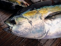 ??  ?? Modern spinning tackle is more than strong enough to bring giant tuna to the boat.
