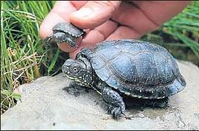 ?? AGUSTÍ ENSESA/ARCHIVO ?? Criadero de tortugas de estanque en un centro de la Albera