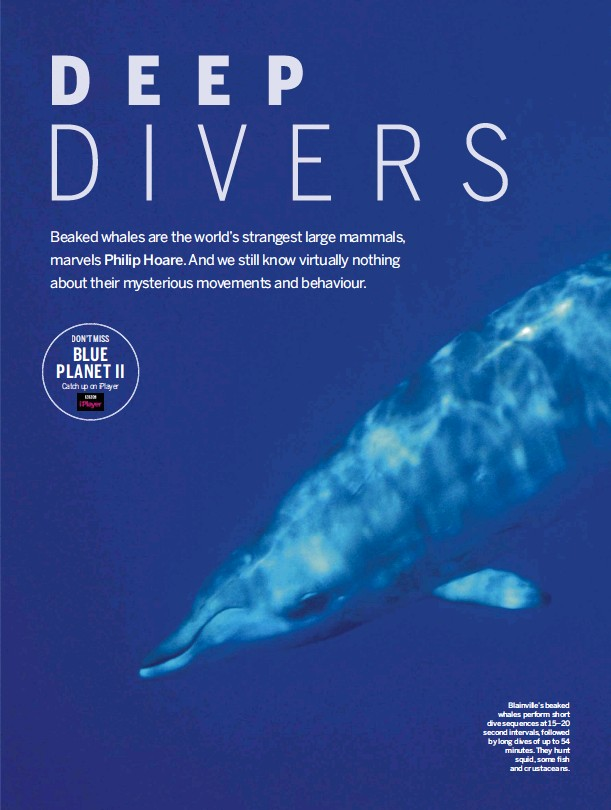 ??  ?? Blainville's beaked whales perform short dive sequences at 15–20 second intervals, followed by long dives of up to 54 minutes. They hunt squid, some fish and crustaceans.