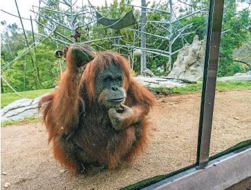 ?? Foto arhiv San Diego ZOO ?? Orangutanka Karen in trije drugi orangutani ter pet bonobov iz živalskega vrta v San Diegu so bili prvi prebivalci živalskih vrtov, ki so bili cepljeni proti covidu-19.