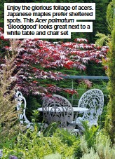 ??  ?? Enjoy the glorious foliage of acers. Japanese maples prefer sheltered spots. This Acer palmatum 'Bloodgood' looks great next to a white table and chair set