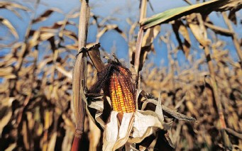 ??  ?? FOR THE FIRST time in South Africa, maize yields surpassed 15 million tons in two succeeding seasons, at 15.3 million tons in 2019/20 and 16.4 million tons in the 2020/21 season, says the Agricultural Business Chamber.