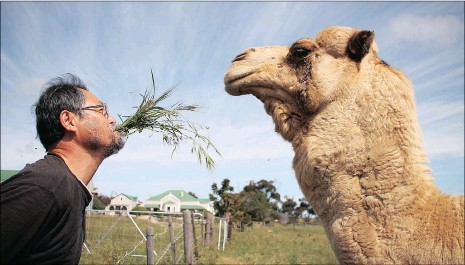 ?? PICTURE: YAZEED KAMALDIEN ?? South Korean land artist Ko Seung-Hyun feeds a camel in Yzerfontein, on the West Coast , to become one with nature.