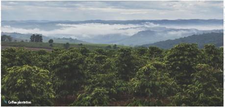 ??  ?? Coffee plantation