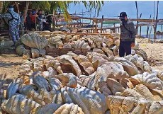 ?? — AFP photo ?? This handout photo shows coast guard personnel inspecting seized giant clam shells in Roxas town, Palawan province.
