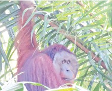 ??  ?? A flanged male orangutan spotted by research staff for PONGO Alliance.