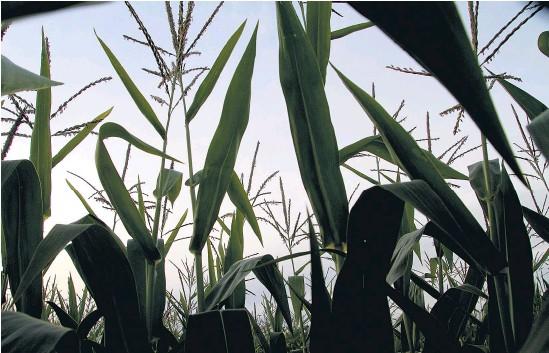 ?? Pablo Añeli ?? El acuerdo busca garantizar abastecimiento y precios accesibles del maíz.