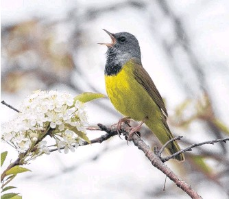 ?? BRUCE MACTAVISH PHOTO ?? The normally shy mourning warbler — overcome by its passion for singing — perches in the open to deliver its song.