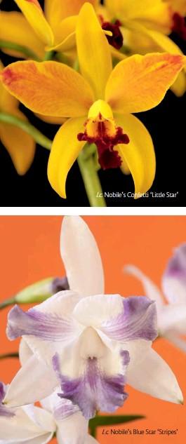 ??  ?? Nobile's Confetti ʻLittle Star' Nobile's Blue Star ʻStripes'
